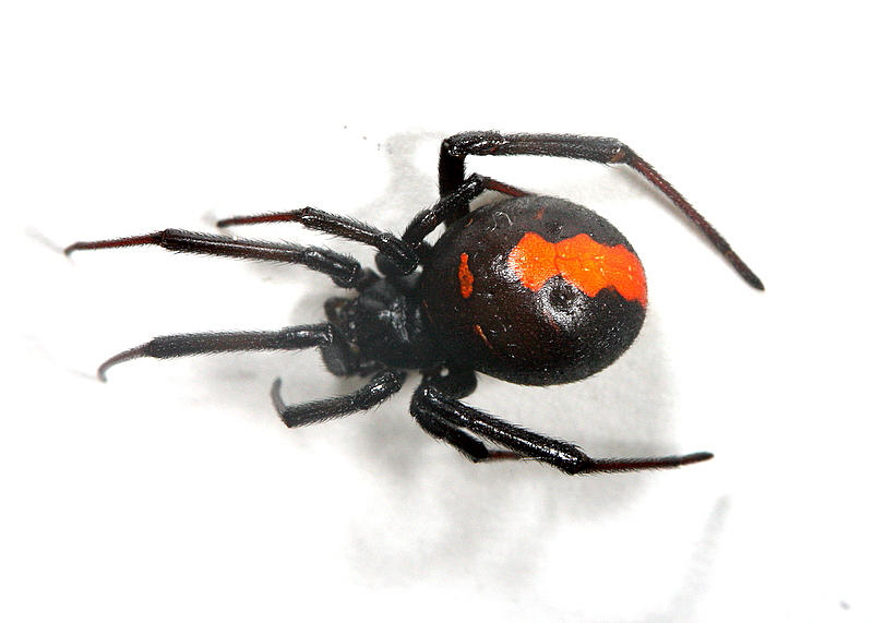 セアカゴケグモの画像 p1_29